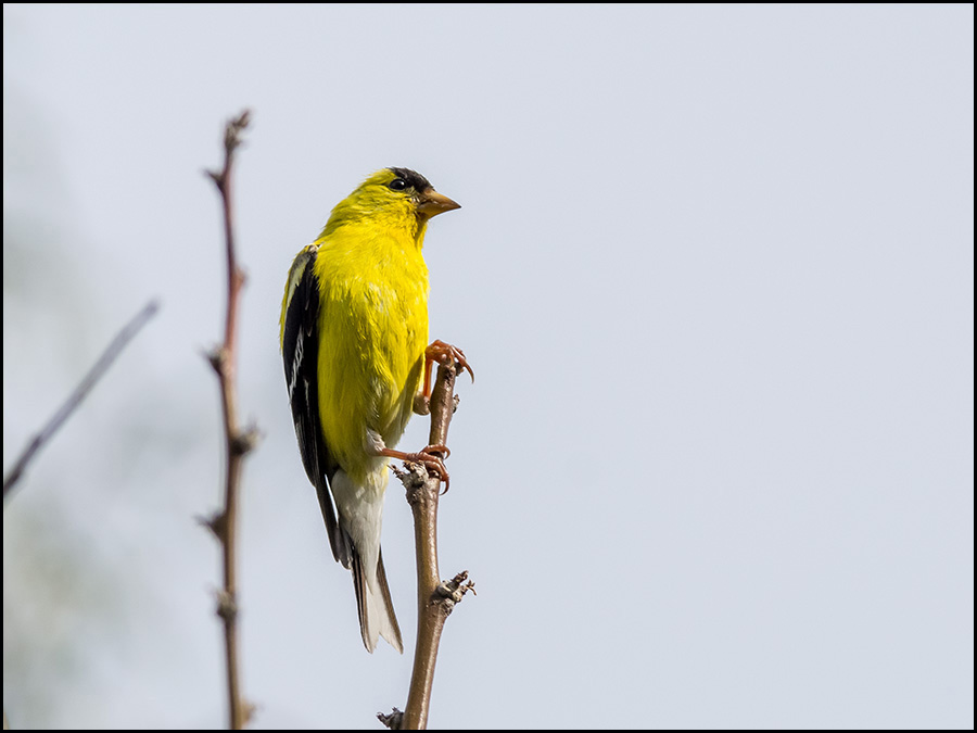 The gallery for --> American Goldfinch Drawing
